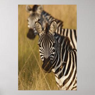 Burchell's Zebra in tall summer grass, Masai Print