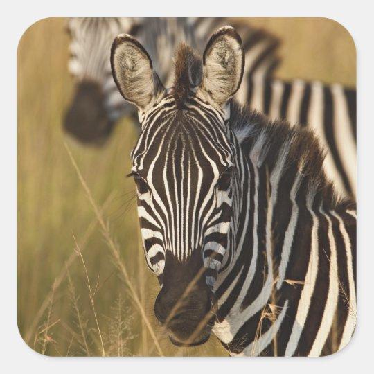 Burchell's Zebra in tall summer grass, Masai Square Sticker