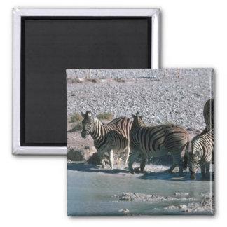Burchell's Zebra Magnet