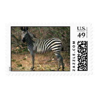 Burchell's Zebra Stamp