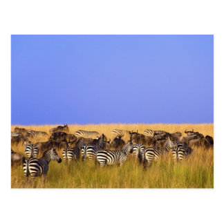 Burchell's Zebras and Wildebeest in tall Post Card