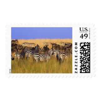 Burchell's Zebras and Wildebeest in tall summer Postage