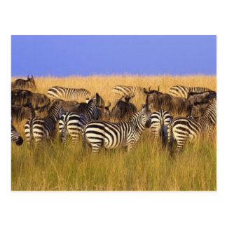 Burchell's Zebras and Wildebeest in tall summer Postcards