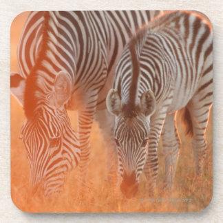 Burchell's Zebras, Equus burchelli grazing at Coasters