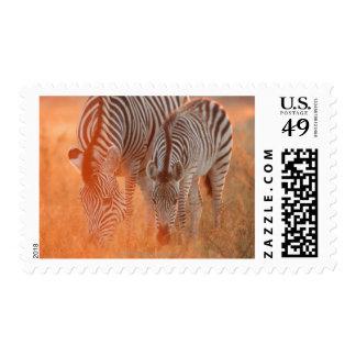 Burchell's Zebras, Equus burchelli grazing at Postage
