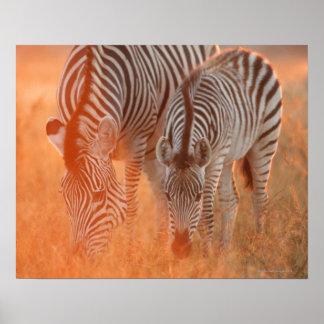 Burchell's Zebras, Equus burchelli grazing at Poster