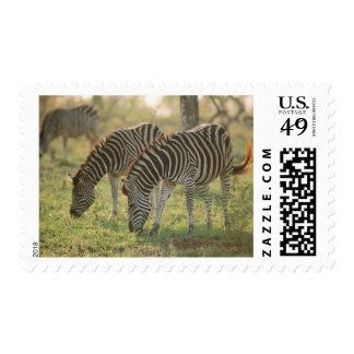 Burchell's Zebras, Equus burchelli grazing, Postage Stamp