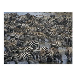 Burchell's zebras (Equus burchelli), Masai Mara, Postcard