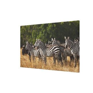 Burchell's Zebras (Equus Burchellii) as seen in Canvas Print