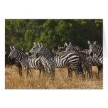 Burchell's Zebras (Equus Burchellii) as seen in Card