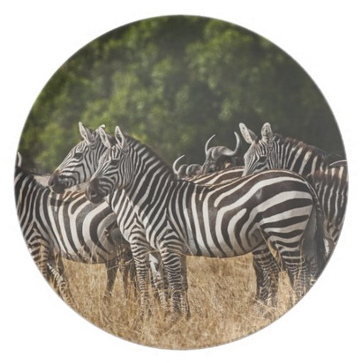 Burchell's Zebras (Equus Burchellii) as seen in Dinner Plate