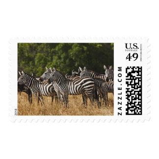 Burchell's Zebras (Equus Burchellii) as seen in Postage