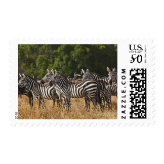 Burchell's Zebras (Equus Burchellii) as seen in Postage