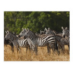 Burchell's Zebras (Equus Burchellii) as seen in Postcard