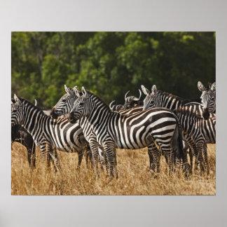 Burchell's Zebras (Equus Burchellii) as seen in Poster
