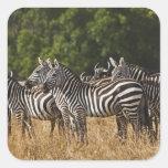 Burchell's Zebras (Equus Burchellii) as seen in Square Sticker