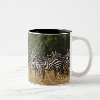 Burchell's Zebras (Equus Burchellii) as seen in Two-Tone Coffee Mug