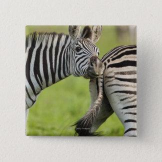 Burchell's Zebras (Equus quagga burchellii), Button