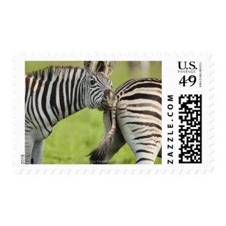 Burchell's Zebras (Equus quagga burchellii), Stamps