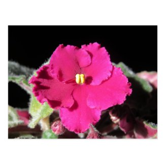 Burgundy African Violet Flower