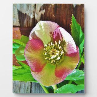 Burgundy Pink Lenten Rose Plaque