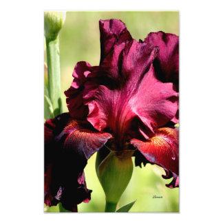 Burgundy/red Iris photo art photo print