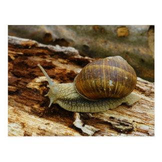 Burgundy Roman Edible Snail Helix Pomatia Postcard