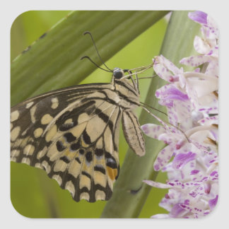 Burma, Tachileik, Lime buterfly Papilio Square Sticker
