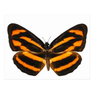 Burmese Lascar Butterfly Postcard