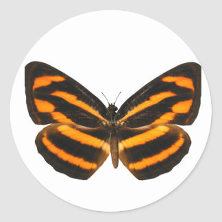 Burmese Lascar Butterfly Sticker