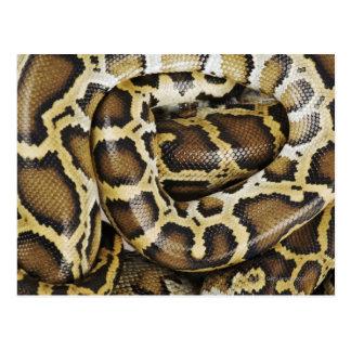 Burmese python postcard