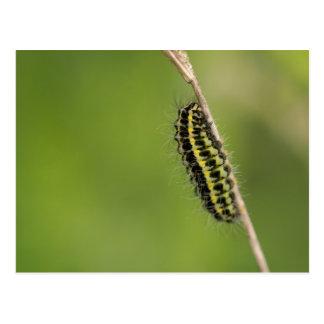 Burnet Moth Caterpillar Postcard