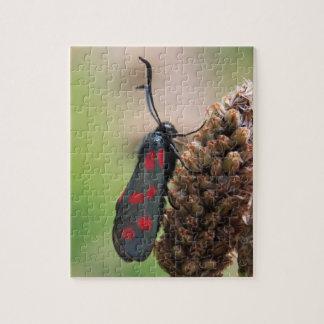 Burnet moth jigsaw puzzle