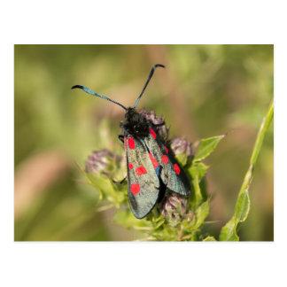 Burnet Moth Postcard