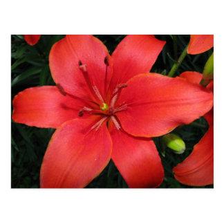 burnt orange asiatic lily postcard