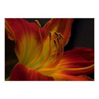 Burnt Orange Day Lily Posters