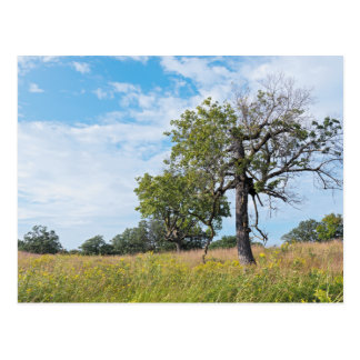 Burr Oak Trees and Prairie Postcard