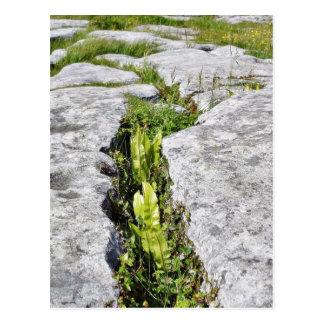 Burren planta rocas de la piedra caliza tarjetas postales