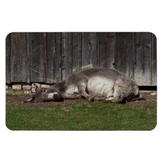 Burro lindo que descansa después de un baño de la imán de vinilo