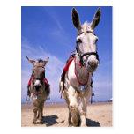 Burros, playa de Blackpool, Inglaterra Tarjeta Postal