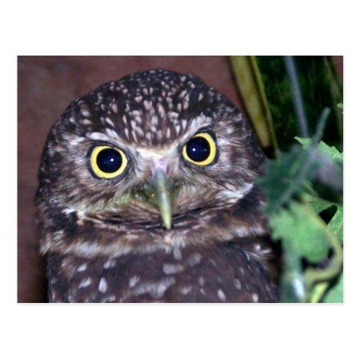 burrowing owl 2 postcard