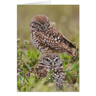 Burrowing Owl, Athene cunicularia, Cape Coral, Card