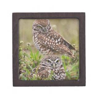 Burrowing Owl, Athene cunicularia, Cape Coral, Jewelry Box
