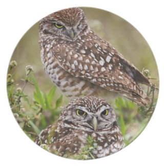 Burrowing Owl, Athene cunicularia, Cape Coral, Party Plate