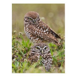 Burrowing Owl, Athene cunicularia, Cape Coral, Postcard