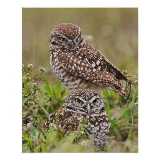 Burrowing Owl, Athene cunicularia, Cape Coral, Poster
