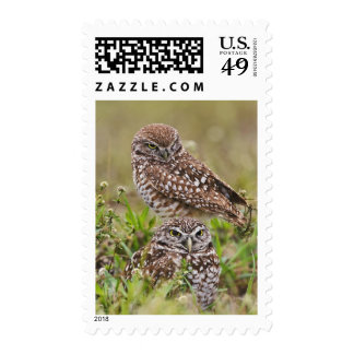 Burrowing Owl, Athene cunicularia, Cape Coral, Stamp