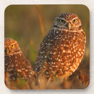 burrowing owl couple coaster