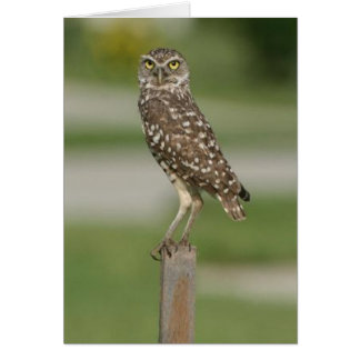Burrowing Owl, Marco Island, Florida, 2010 Card