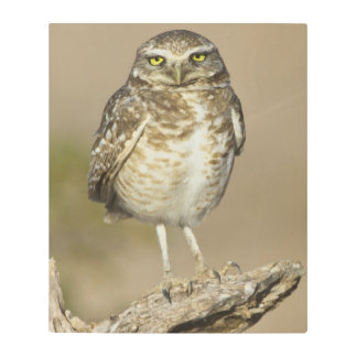 Burrowing Owl on a stick Metal Print